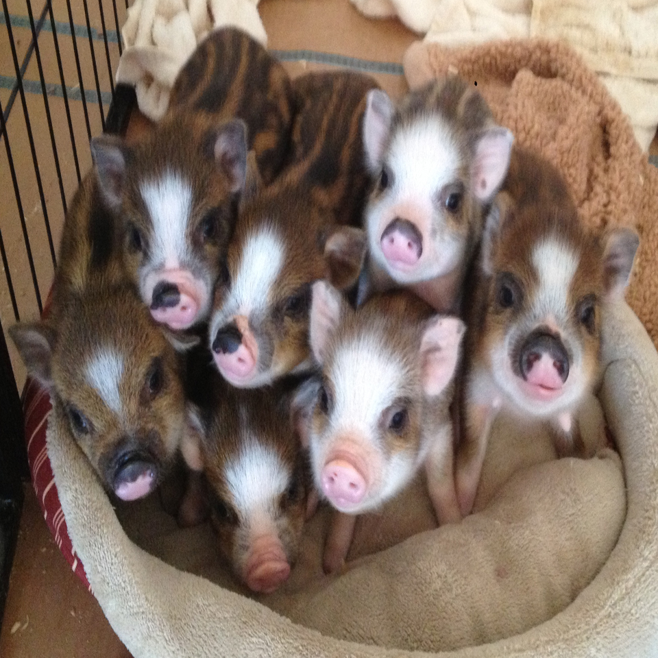 Home Charming Mini Pigs