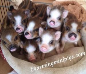 Mini pig training-Starting basic skills