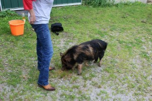 Chloe the Kune Kune Expecting